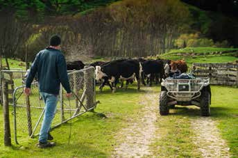 Hazard warning technology helps farmer safely move cattle 2